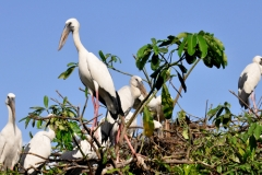 Migratory birds at Atul